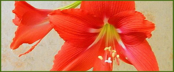 Гиппеаструм цветок, миниатюра