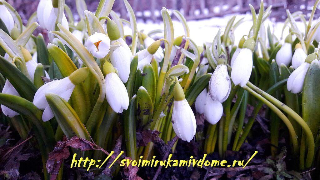 Подснежники 27 марта 2019 цветут