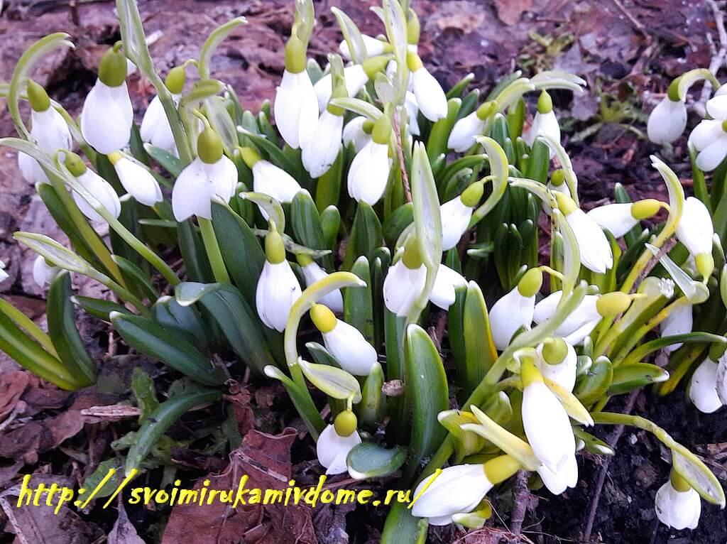 Подснежники 27 марта цветут