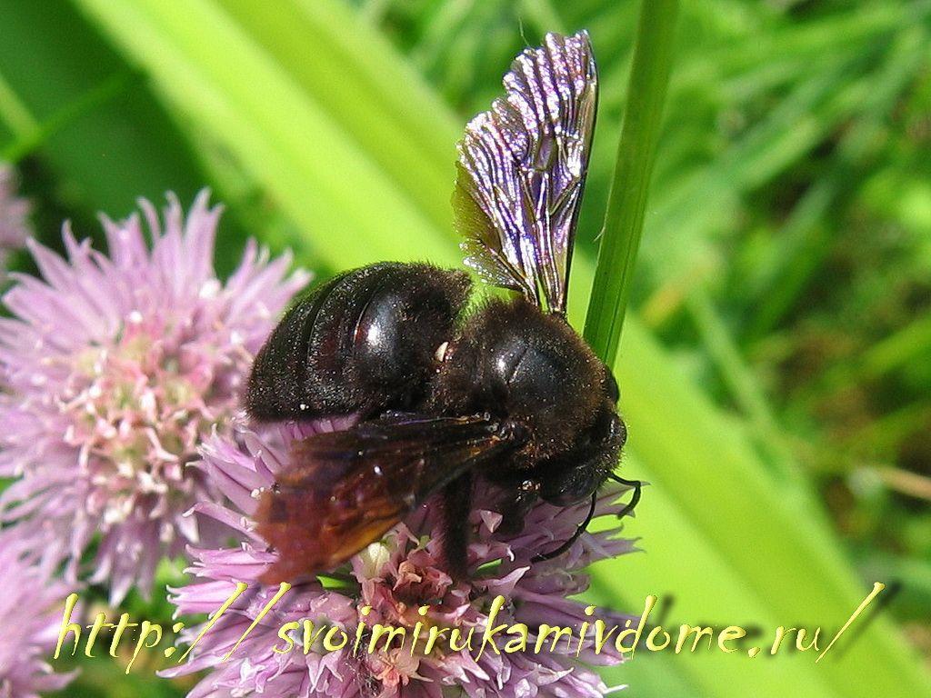 Пчела-плотник на луке