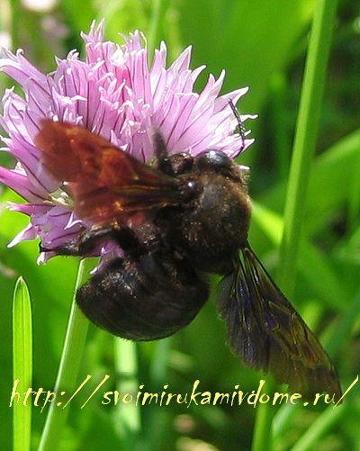 Пчела-плотник сверху