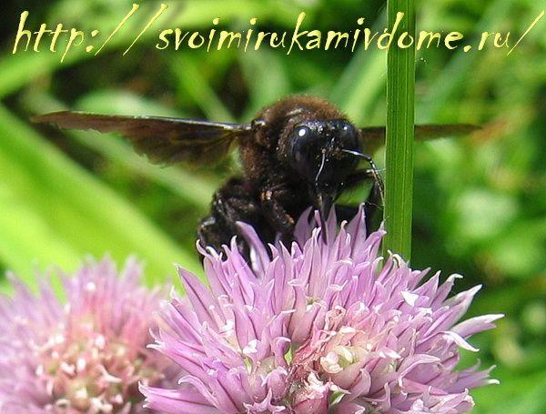 Пчела плотник спереди