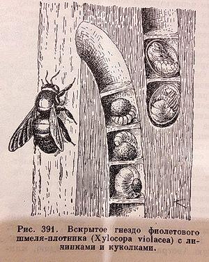 Гнездо шмеля-плотника