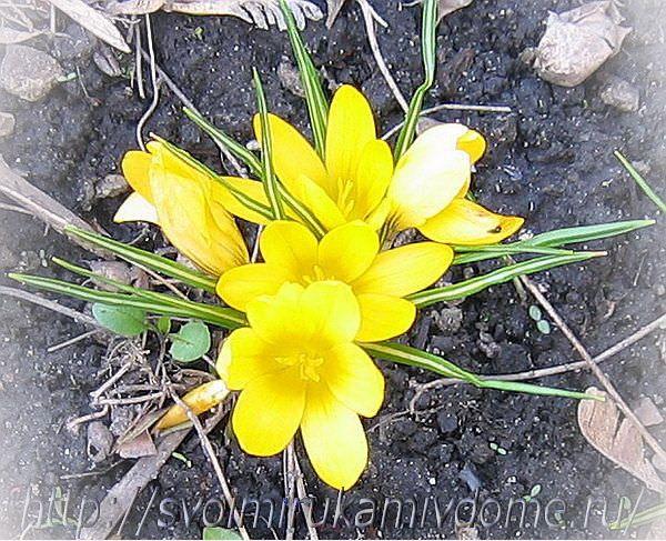 Крокус жёлтый в цветнике