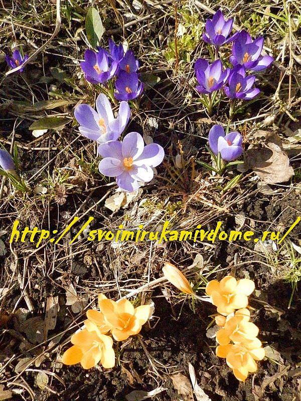 Крокусы расцвели в цветнике у дома