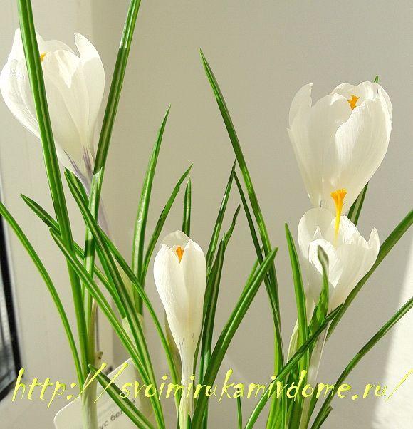 Крокусы белые цветут в горшке
