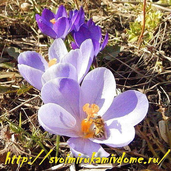 Крокусы и пчёлка в цветнике