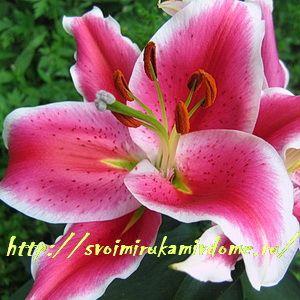 Цветок лилии сортовой