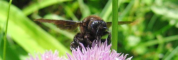 Пчела-плотник, миниатюра