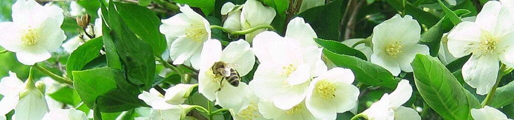 Пчёлка на чубушнике в шапку