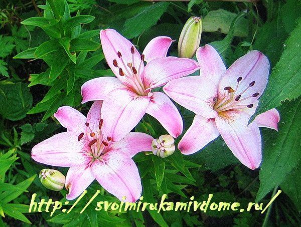 Розовые лилии в цветнике