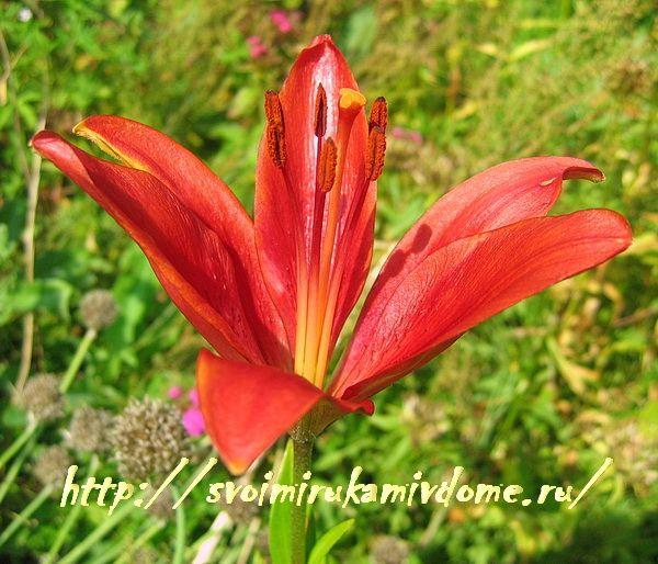 Цветок лилии красной