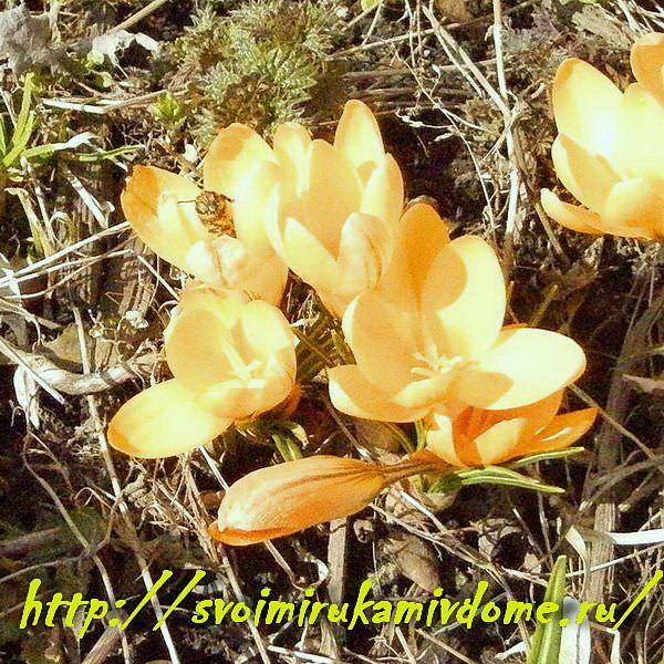 Жёлтые крокусы в цветнике