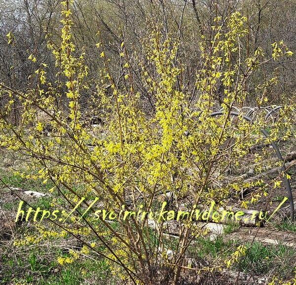 Куст форзиции расцветает в саду