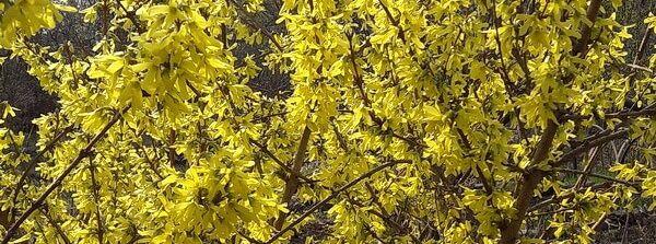 Цветение форзиции в моём саду