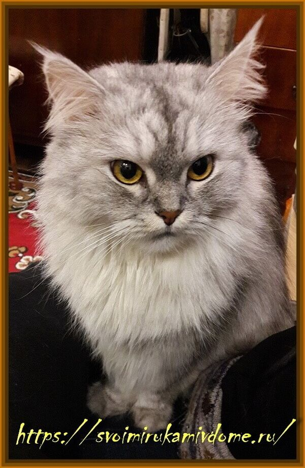 Кошка Дульсинея