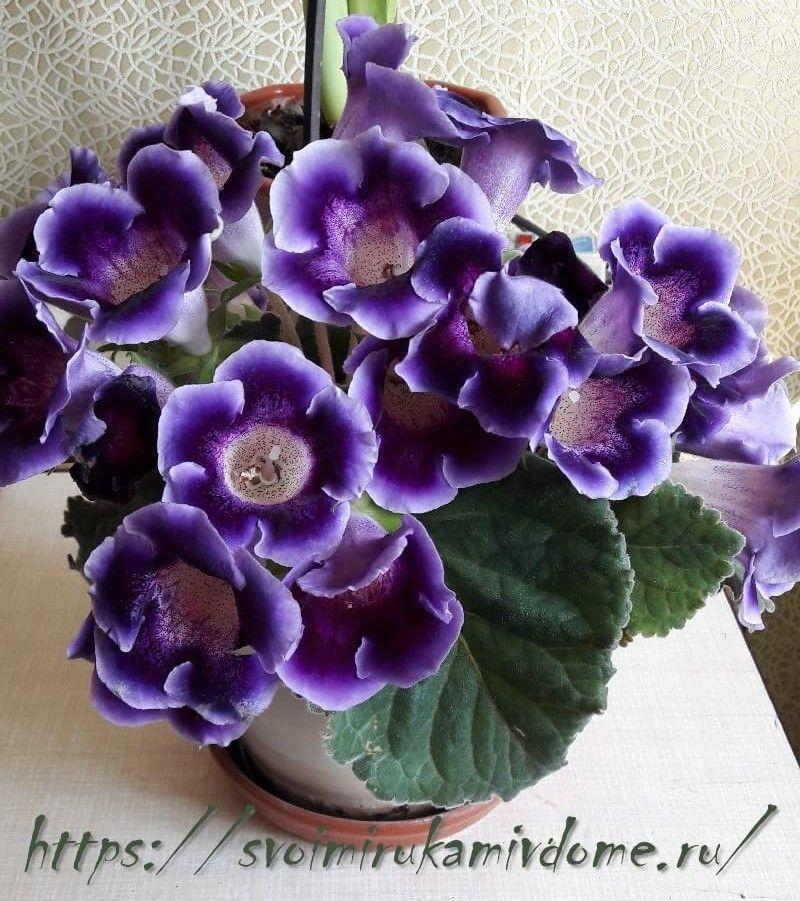 Глоксиния фиолетовая цветёт дома