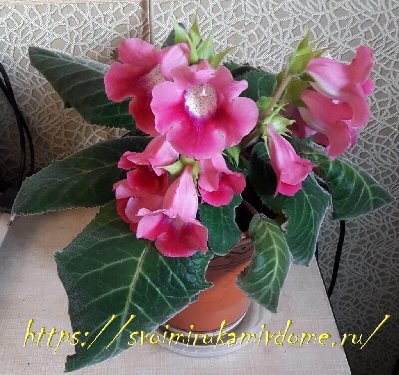 Глоксиния розовая дома
