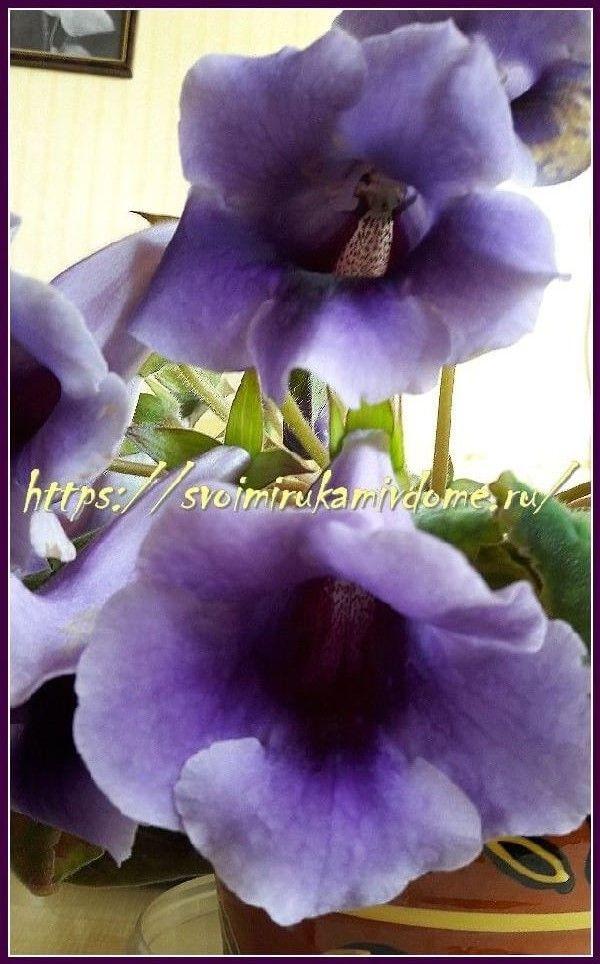 Глоксиния сиреневая, цветки