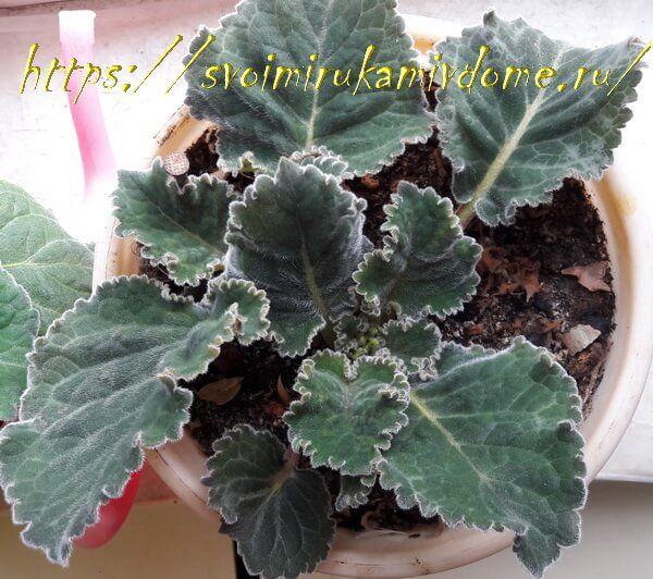 Листья глоксинии в горшке