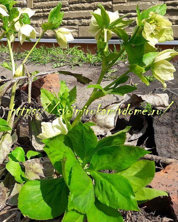 Листья и цветки морозника кавказского