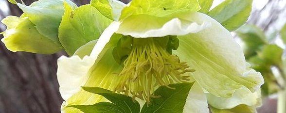 Морозник кавказский цветёт