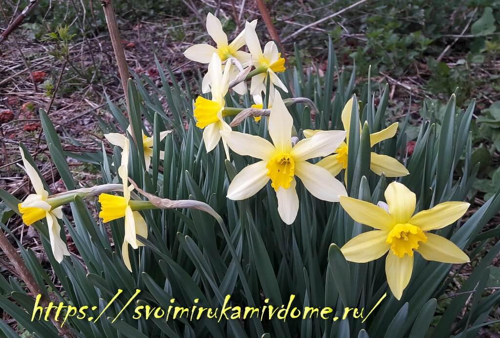 Нарциссы в саду 26 апреля