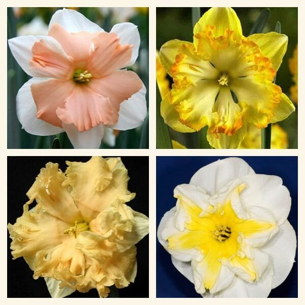 Орхидные нарциссы, сорта