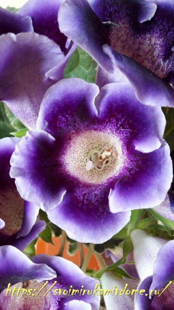 Цветки фиолетовой глоксинии дома