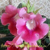 Цветки розовой глоксинии дома