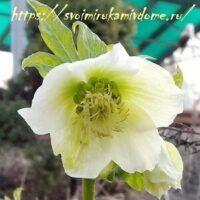 Цветок морозника кавказского у дома
