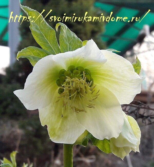 Цветок морозника у дома