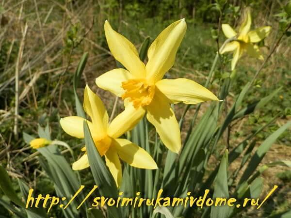 Жёлтые нарциссы в саду