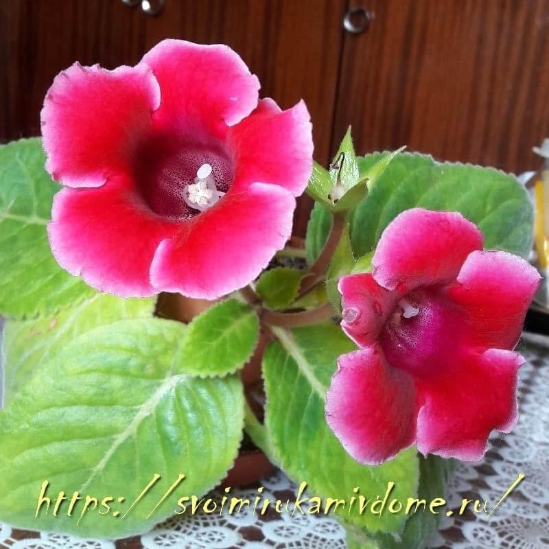 Глоксиния малиновая цветёт