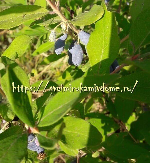 Ягоды и листья жимолости в саду