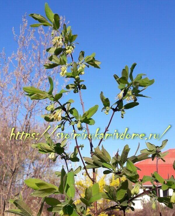 Цветущая жимолость в саду