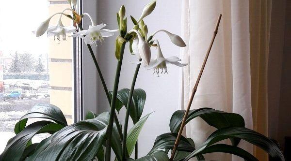 Белый комнатный цветок эухарис – амазонская лилия, фото