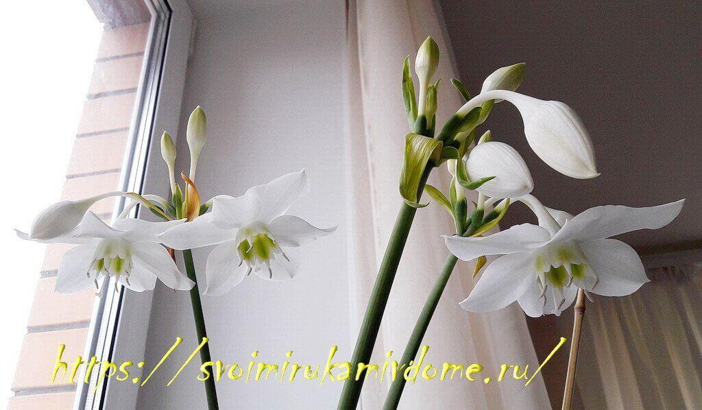 Цветки эухариса на цветоносах