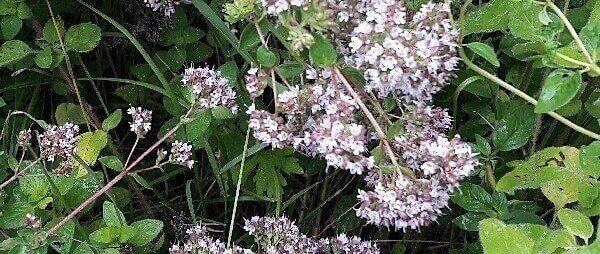 Цветки душицы на грядке в огороде