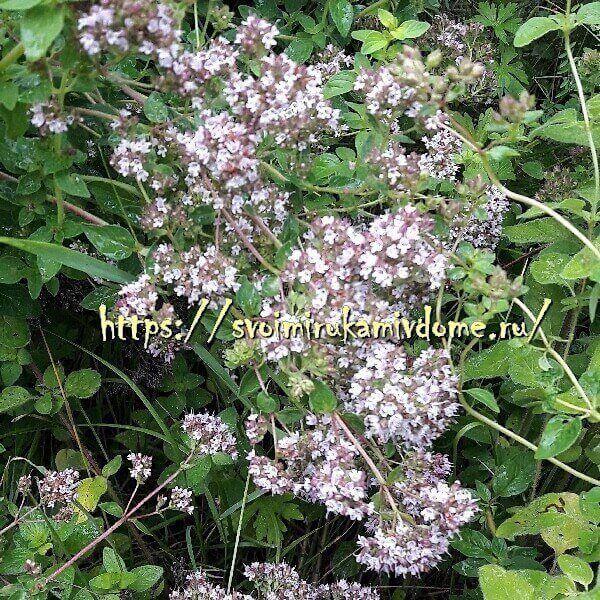 Цветки душицы в саду
