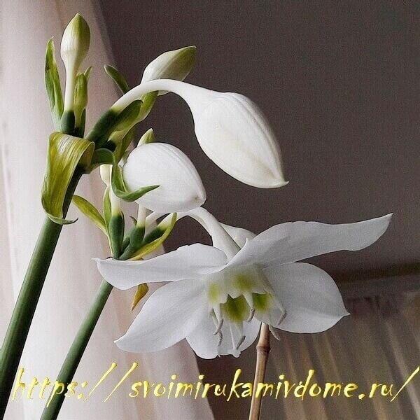 Цветок и бутоны эухариса в горшке