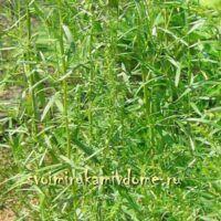 Эстрагон трава с бутонами на грядке