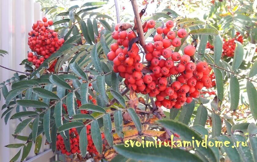 Ягоды и листья рябины обыкновенной у дома