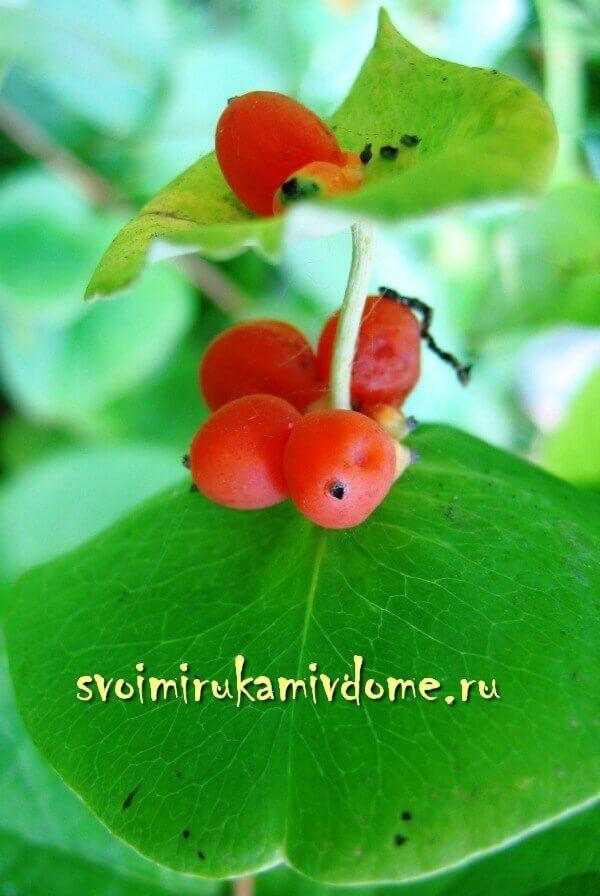 Несъедобные ягоды жимолости каприфоль созрели