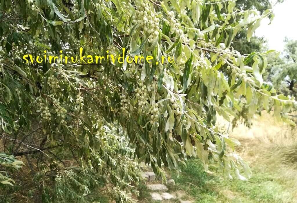 Оливковое дерево на юге Азовского моря
