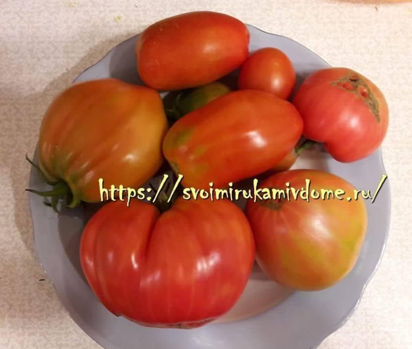 Первый урожай томатов в теплице