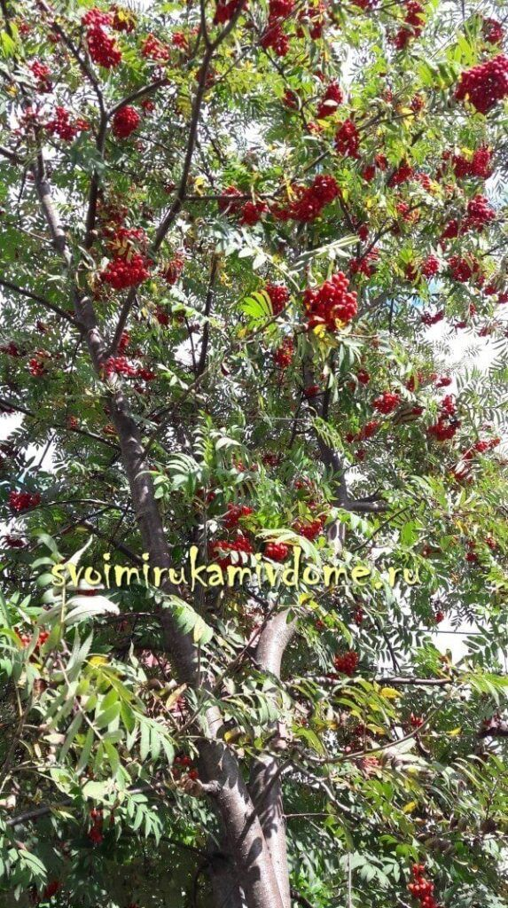Рябина красная в саду у дома