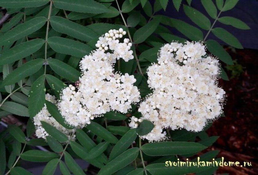 Рябина обыкновенная цветёт в саду