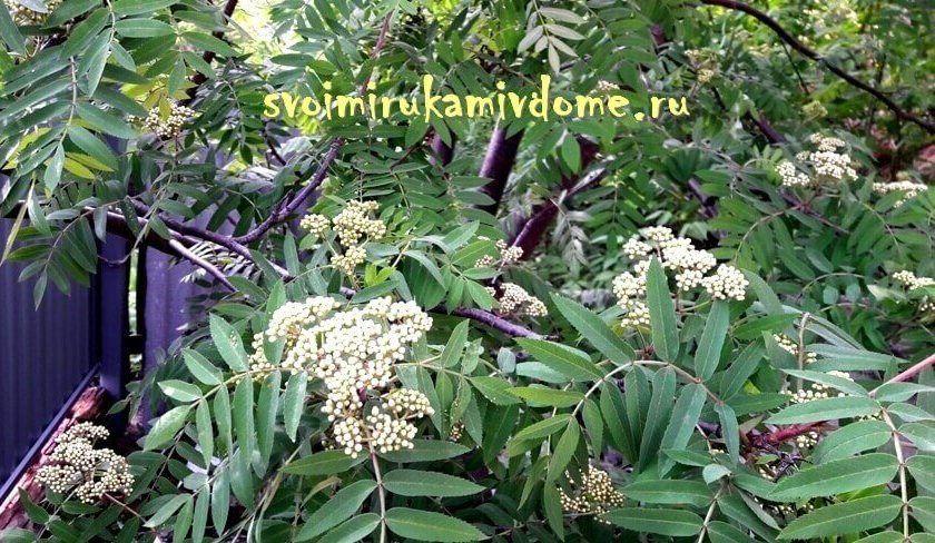 Рябина обыкновенная зацветает в саду