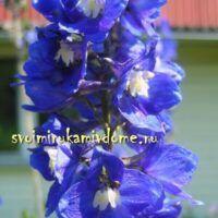 Цветки дельфиниума сортового в саду